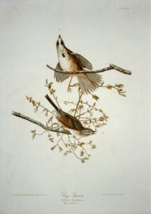 Song sparrow. Color engraving by R. Havell, after drawing by John J. Audubon. Prints and Photographs Division.