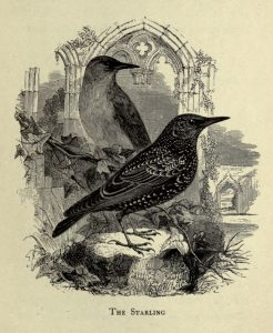 Starling illustration: From The birds of Shakespeare, by Sir Archibald Geikie. Glasgow, J. Maclehose and sons, 1916