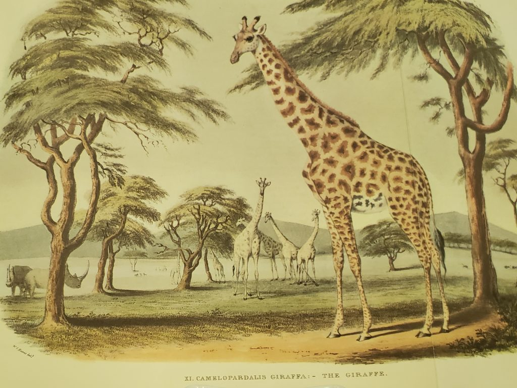 Illustration of the Cameleopard from W. C. Harris and F. Howard's Portraits of the Game & Wild Animals of Southern Africa (1969). Cape Town: Sable Publishers.