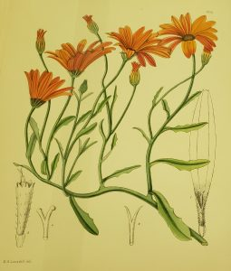 Illustration of the Namaqualand Daisy from The Flowering Plants of South Africa. Phillips, E. P., and Pole-Evans, I. B. (1921). London: Reeve.