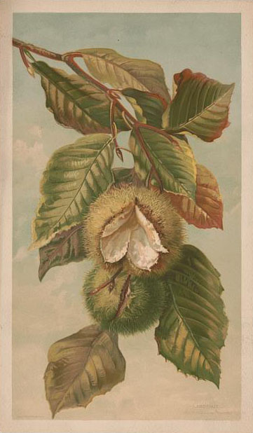Print shows a branch of a chestnut tree with leaves and chestnut burrs.