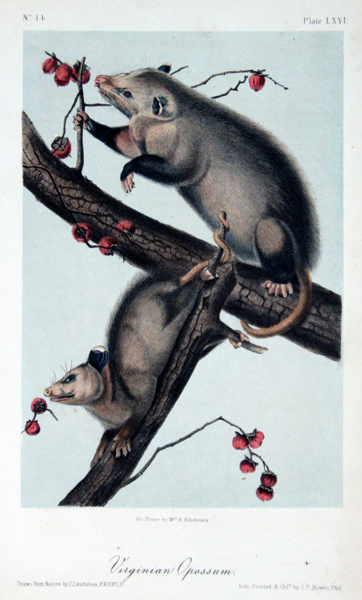 Colored engraving of two opossums on a tree sniffing ripe persimmons.