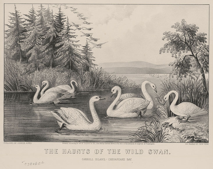 Illustration shows several swans in an inlet to Carroll Island in the Chesapeake Bay