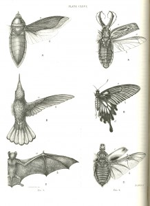 All wings are constructed on a common principle Plate CLXVI in Design in Nature by James Bell Pettigrew, 1908. Figures in plate drawn from nature by C. Berjeau.