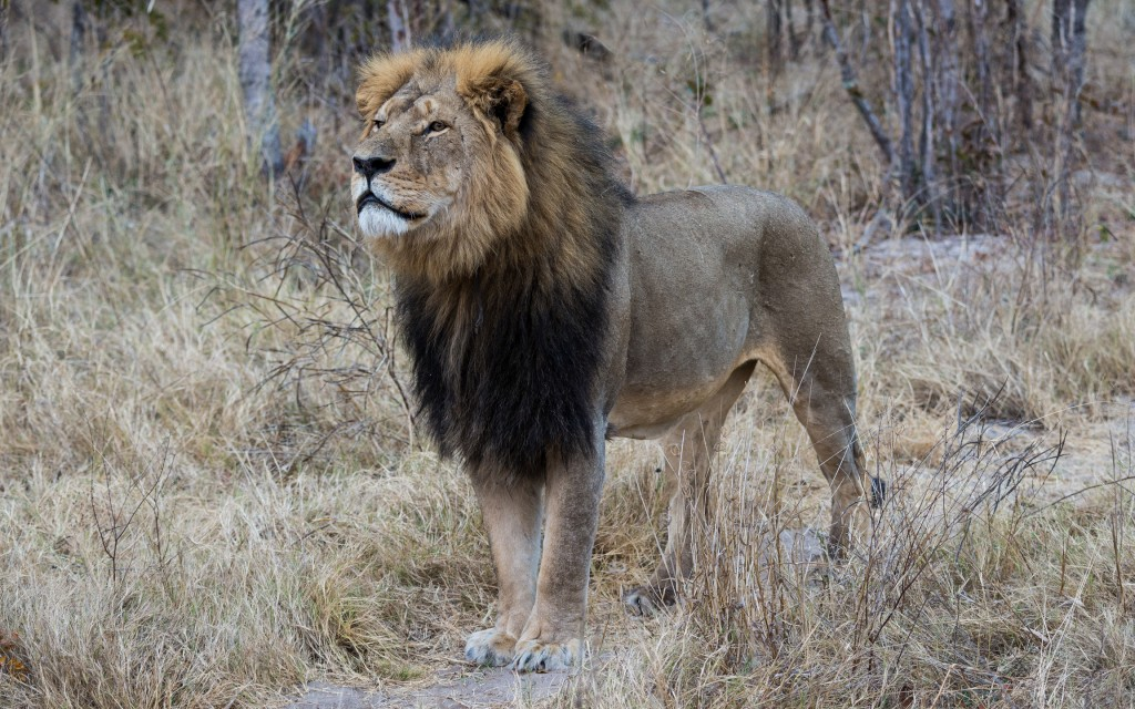 Cecil - Hwange National Park, Zimbabwe (Photo by Flickr user Vince O'Sullivan, Jul. 29, 2014). Used under Creative Commons License, https://creativecommons.org/licenses/by-nc/2.0/.