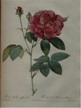 """Rose illustration from """"Les Roses"""":  Rosa Gallica Officinalis. Rosier de Provins ordinaire. Rare Book and Special Collections Division."""