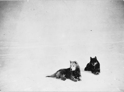 Two dogs rest on snow during Roald Amundsen's 1911 Antarctic expeditions.