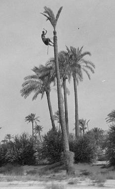 Carmel and Haifa. Trimming palms near Haifa. Man at top of tall tree. Photo by American Colony Photo Dept., between 1920 and 1933. //hdl.loc.gov/loc.pnp/matpc.15373