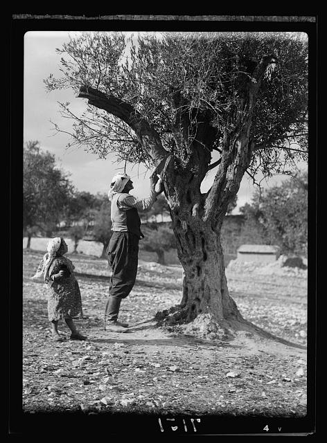 Trimming olive trees in Palestine. Photo by American Colony Photo Dept., between 1934 and 1939. //hdl.loc.gov/loc.pnp/matpc.16614