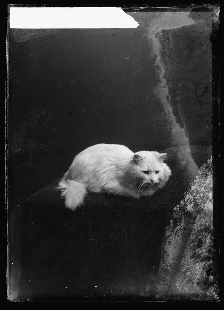 Emmons [cat]. Photo by C. M. Bell, between February 1894 and February 1901. ttp://hdl.loc.gov/loc.pnp/bellcm.06682