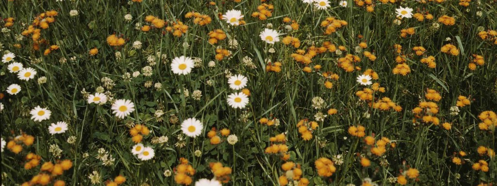 Field of daisies and orange flowers [detail]