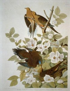 Carolina Turtle Dove. Drawing by John Audubon; Color Engraving by R. Havell
