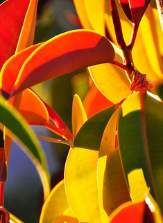 Back Lit Rubber Tree Plant - Vertical, by Bill Gracey, on Flickr