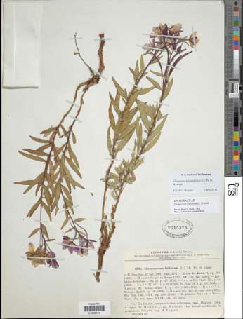 Scan of an herb.